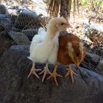 Chickens from DYZC near Lado de Atitlan