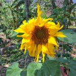 Sunflower from DYZC grounds and garden near Lake Atitlan Guatemala