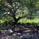 Preservation of our favourite tree at yoga retreat center in Tzununa