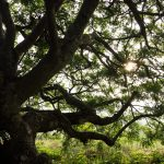 Sun rays coming through the branches of one of the most beautiful tree in the garden