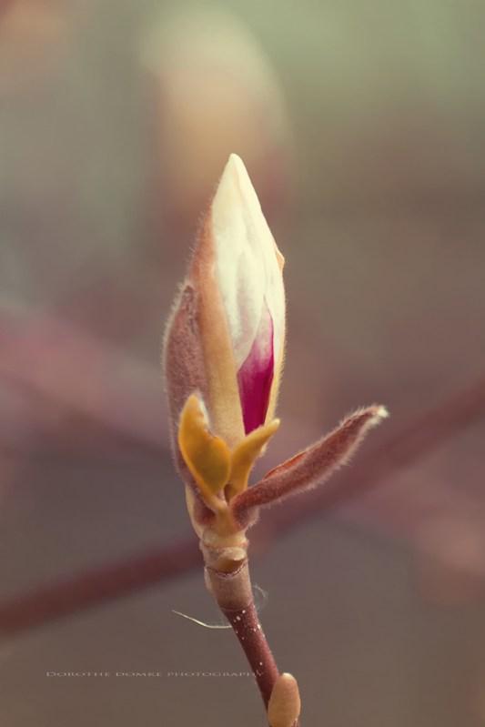 Magnolie pg 002