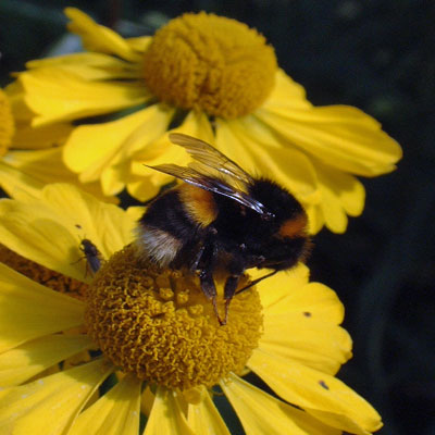 Bumblebee on Helenium 'Butterpat'