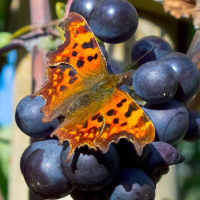 Comma on Grapes
