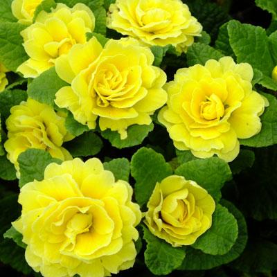 Primula Belarina Butter Yellow