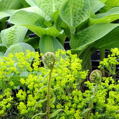 Euphorbia 'Red Devil' & Hosta ' Pauls Glory'