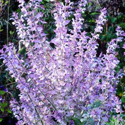 Salvia sclarea 'Turkestanica' (Clary)