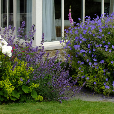 Geranium 'Brookside' with Nepeta 'Six Hills Giant' and Alchemilla mollis