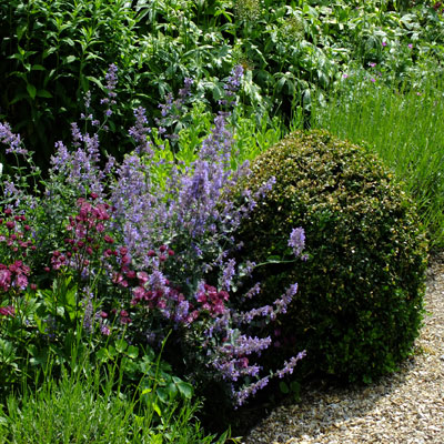 Nepeta 'Six Hills Giant' with Box and Astrantia