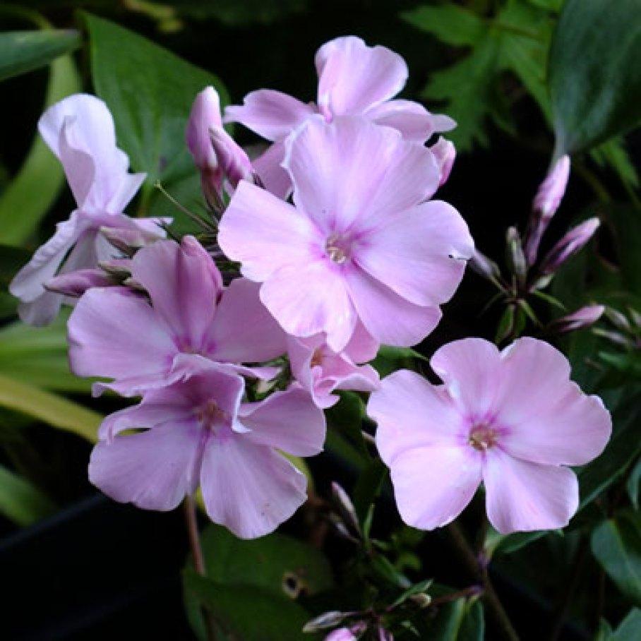 perennials by colour pink blush dorset perennials. Black Bedroom Furniture Sets. Home Design Ideas
