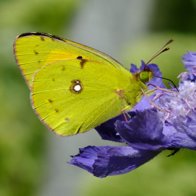 Scabiosa perfecta Blue with 'Clouded Yellow'