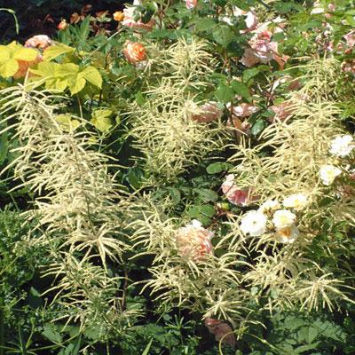 Aruncus dioicus with Roses