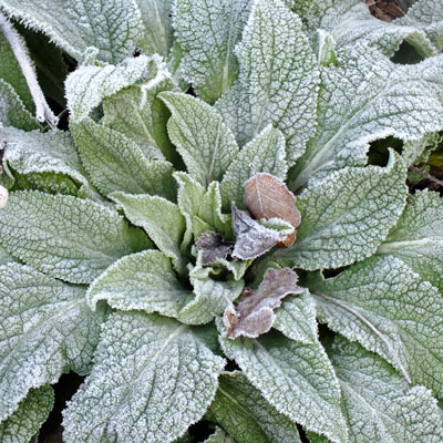 Digitalis with frost