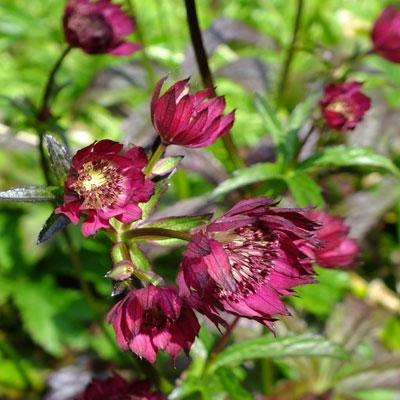 Astrantia Gill Richardson Group pale seedling