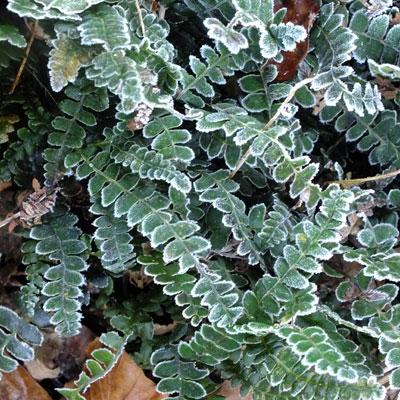 Blechnum penna-marina in the frost