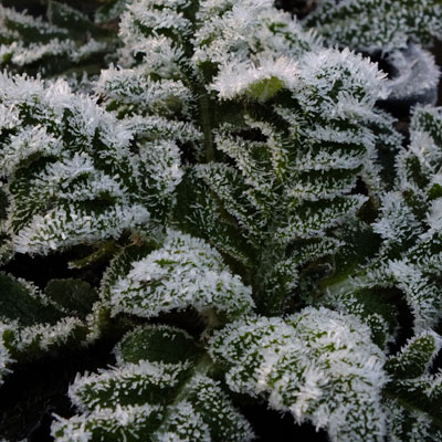 Papaver orientale in the frost