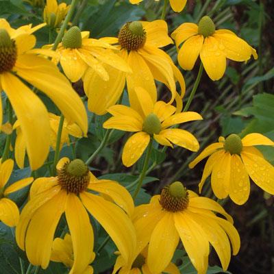 Rudbeckia laciniata Herbstsonne'