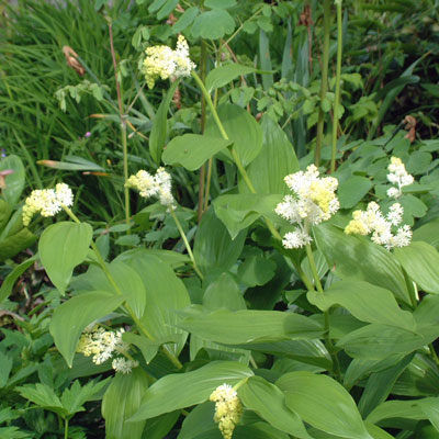 Smilacina racemosa (Maianthemum racemosa)