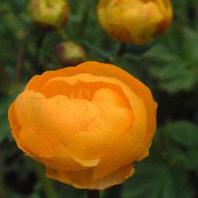 Trollius 'Orange Princess'