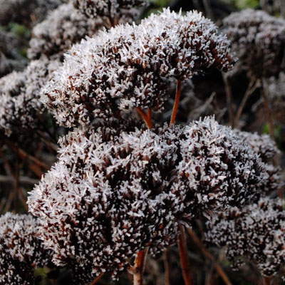 frosted Ice plant (sedum)