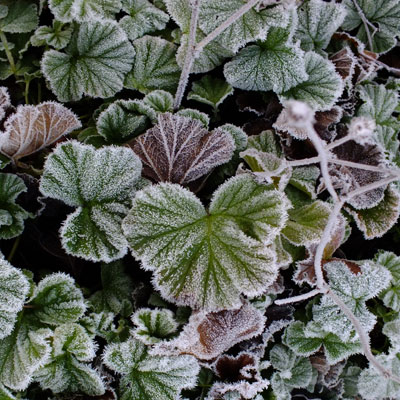 frosted geum leaves
