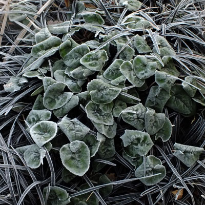 cyclamen and ophiopogon frosted