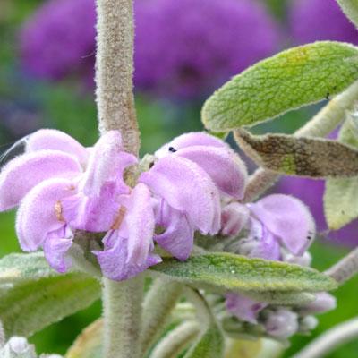 Phlomis italica 'Pink Glory'