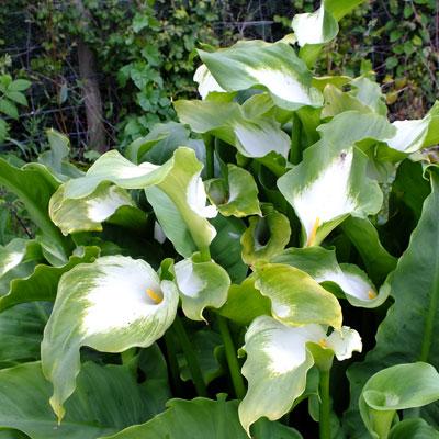 Zantedeschia aethiopica 'Green Goddess' (Lily of the Nile)