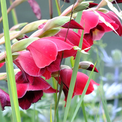 Gladiolus 'Ruby'