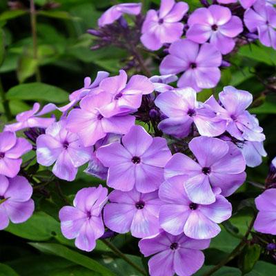 Phlox Violet Flame ('Barsixtyone')