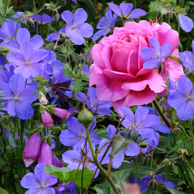 Geranium-Johnsons-Blue