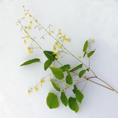Epimedium campanulatum