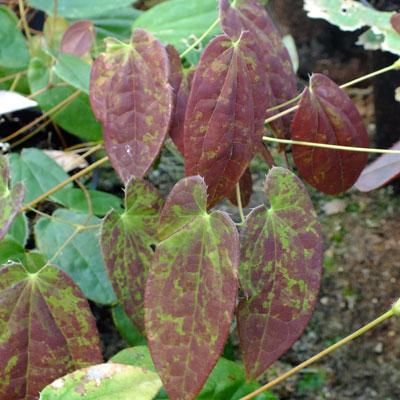 Epimedium ogisui