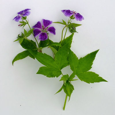 Geranium nodosum 'Blueberry Ice'