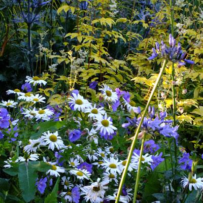 Lecanthemum vulgare, Geranium 'Rozanne', Agapanthus. Eryngium x zabelii and Filipendula ulmaria 'Aurea'