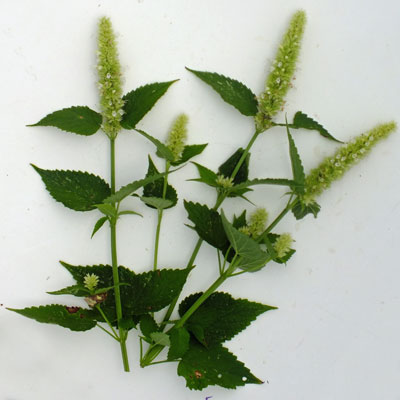 Agastache rugosa f. albiflora' Alabaster'