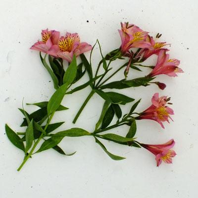 Alstroemeria 'Andez Rose'