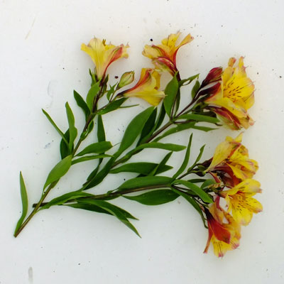 Alstroemeria 'Andez Vanilla'