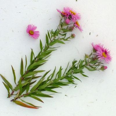 Aster novae-angliae 'Harrington's Pink' (Symphyotrichum novae-angliae 'Harrington's Pink')