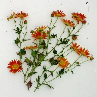 Chrysanthemum 'Cottage Apricot' – Korean (C.'Apricot')