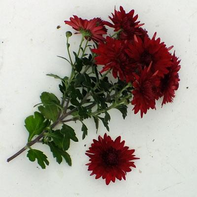 Chrysanthemum 'Ruby Mound' - Korean : single