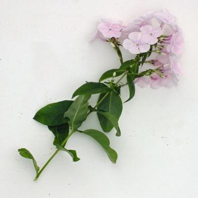 Phlox paniculata 'Monica Lynden-Bell'