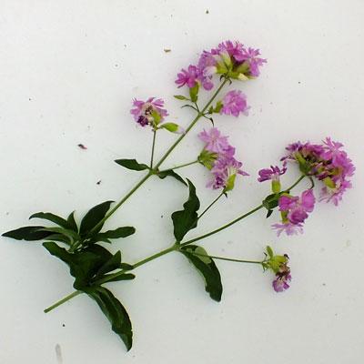 Saponaria officinalis 'Rubra Plena'