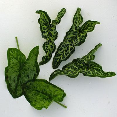 Arum leaves - Pictum and Chameleon