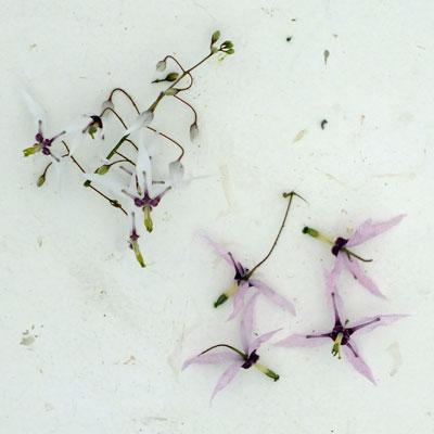 Epimedium fargesii flowers