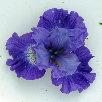 Iris 'Blueberry Fair'
