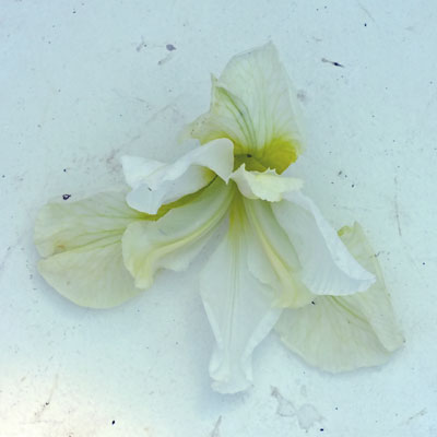 Iris 'Butter and Siugar'