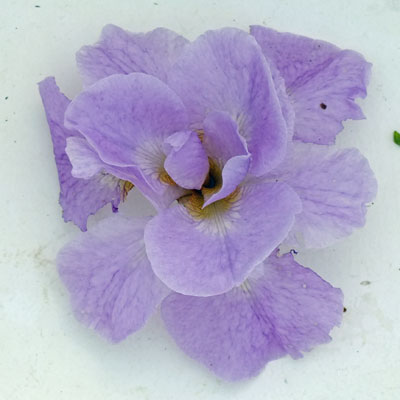 Iris 'Ranman'