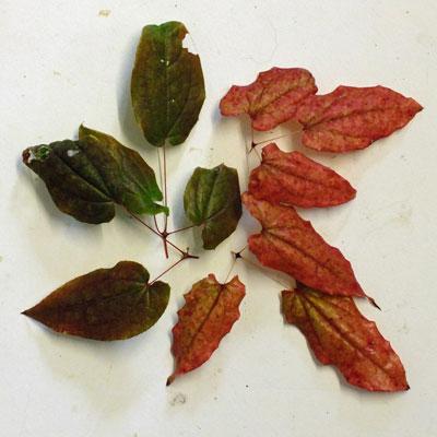 Epimedium acuminatum Winter leaves. white form (L) L575 (R)