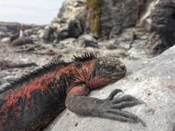 Iguana (Ecuador)