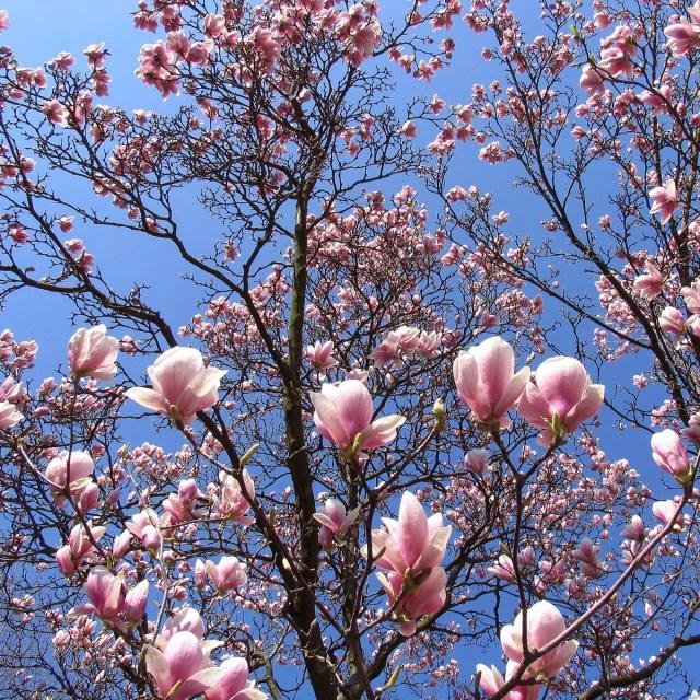 2005-04-01 Pro1 Magnolienblüten 014